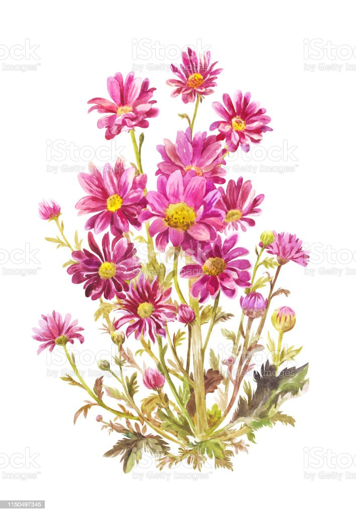 Bouquet Dasters Violet à Laquarelle Illustration Botanique