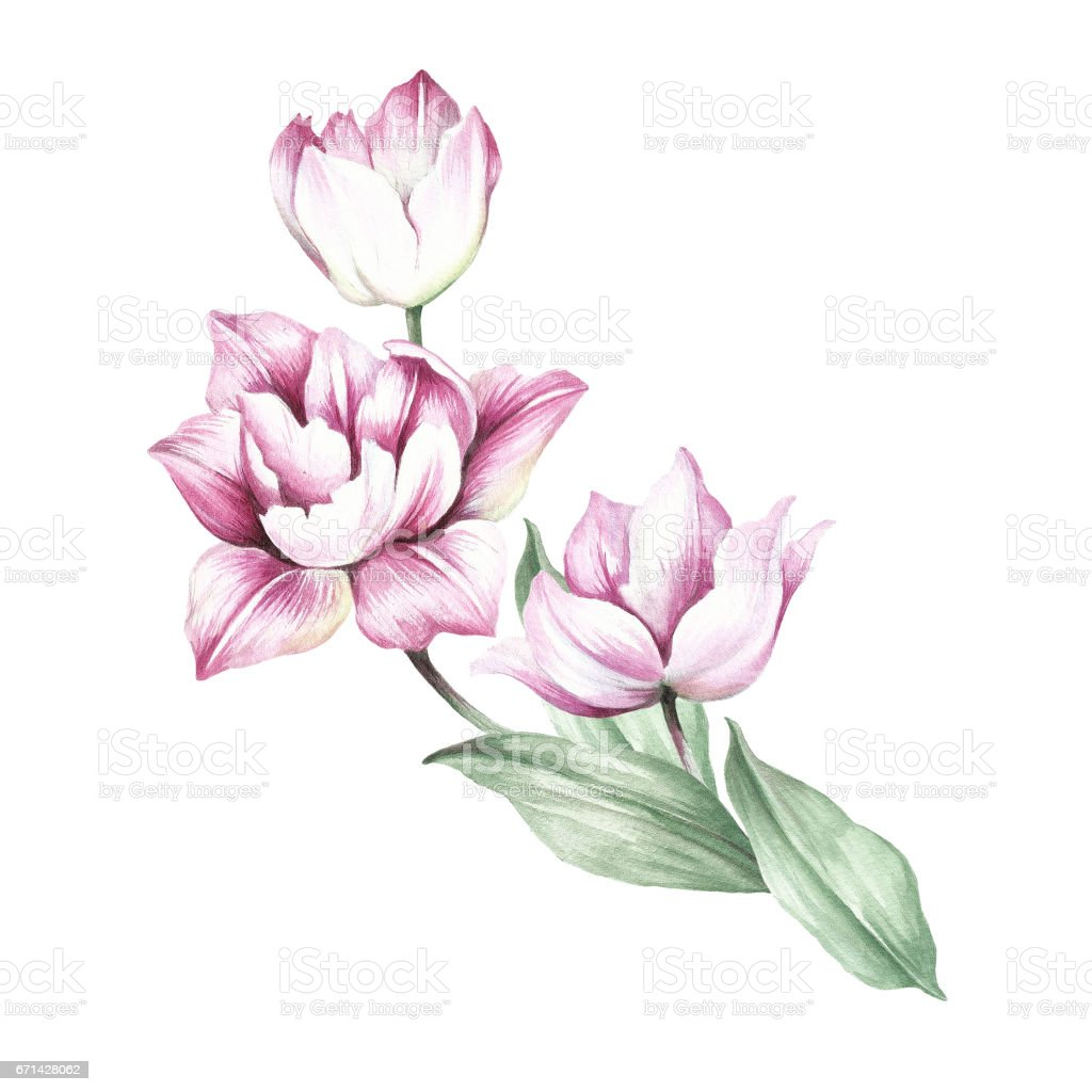 bouquet of tulips hand draw watercolor illustration royalty free stock vector art