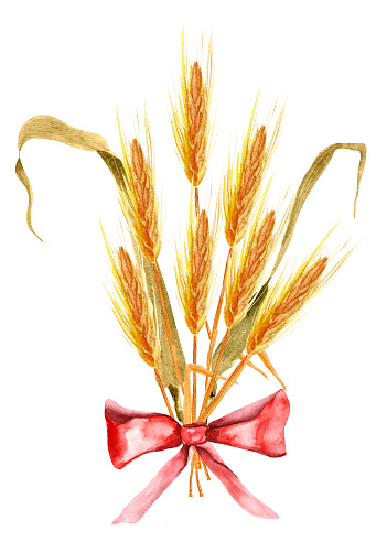 Bouquet of wheat ears with red bow watercolor illustration.