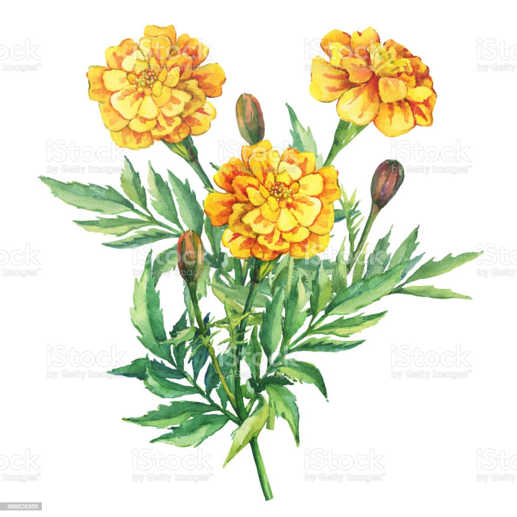 Bouquet Of Yellow Flowers Tagetes Patula The French Marigold Garden