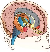Realistic drawing of a brain inside a boy's skull is depicted in colors to differentiate the parts.
