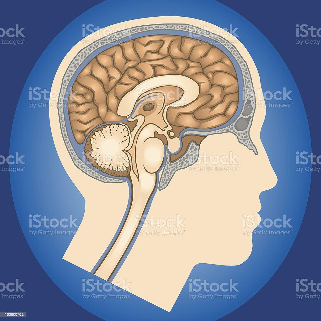 Brain Anatomy Sagittal Cross-Section vector art illustration