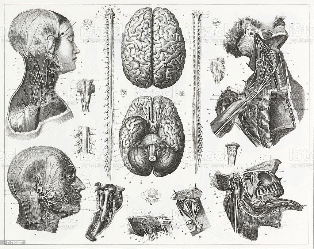 Ilustración de Cerebro Y Los Nervios Grabado y más banco de imágenes ...