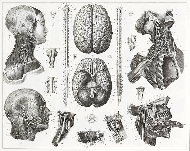 Brain and Nerves Engraving Engraved illustrations of Anatomy of the Brain and Nerves from Iconographic Encyclopedia of Science, Literature and Art, Published in 1851. Copyright has expired on this artwork. Digitally restored. sciatic nerve stock illustrations