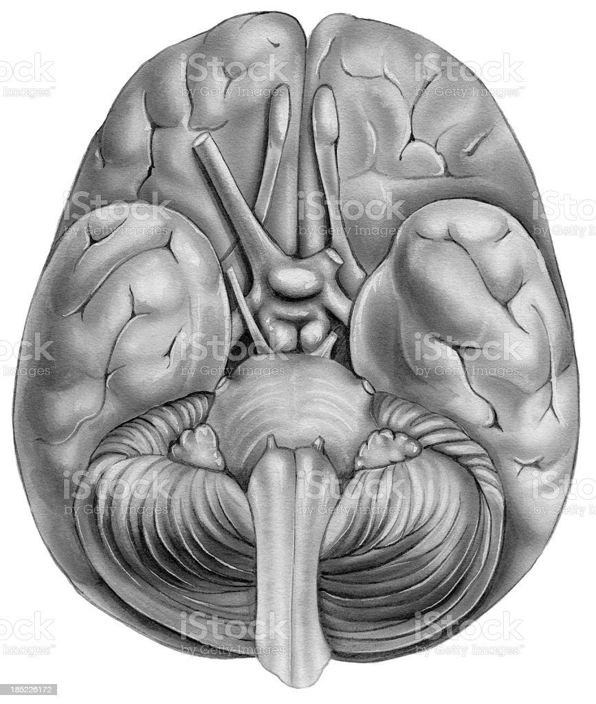 Ilustración de Cerebro Vista Inferior y más banco de imágenes de ...