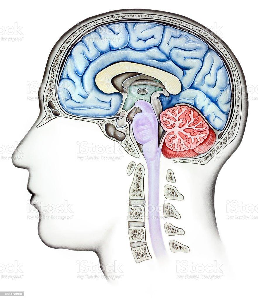 Brain - Cutaway Side View royalty-free stock vector art