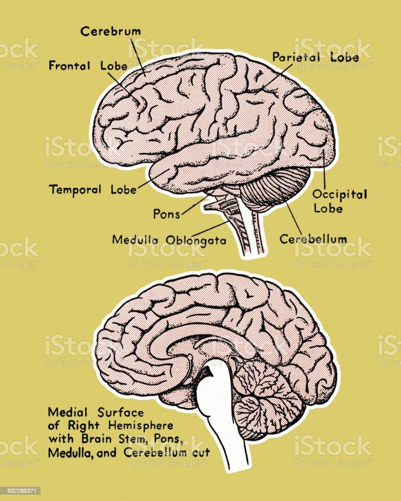 Brain Diagram Stock Vector Art More Images Of 2015 532285371 Istock