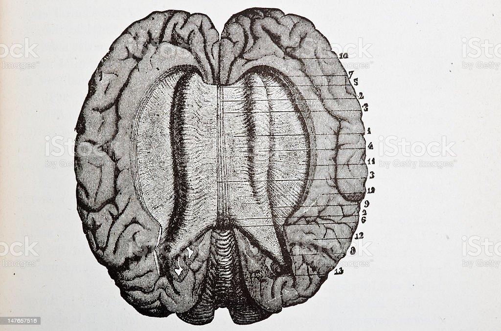 Brain Dissection vector art illustration
