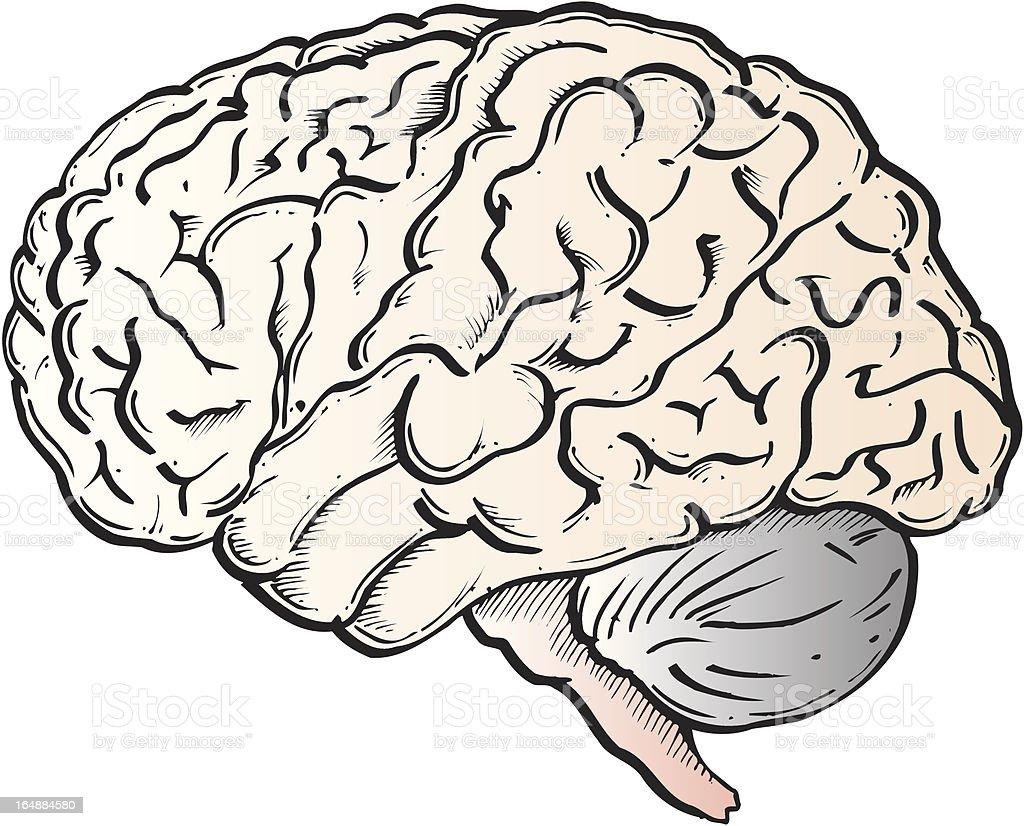Cerebro - ilustración de arte vectorial