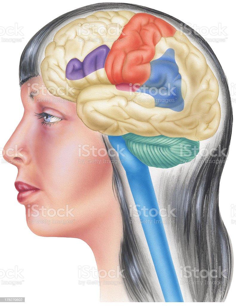 Brain In Situ Skull Cutaway Side View Stock Vector Art & More Images ...