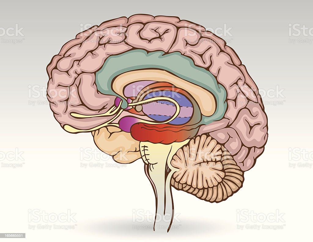 Brain Isolated vector art illustration