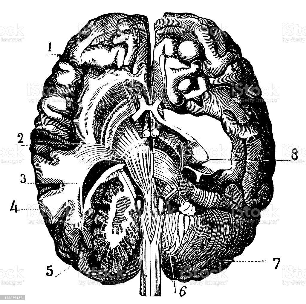 Brain section royalty-free stock vector art