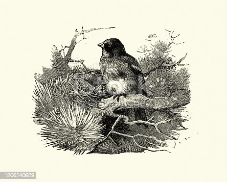 Vintage engraving of brambling (Fringilla montifringilla) is a small passerine bird in the finch family Fringillidae. It has also been called the cock o' the north and the mountain finch.