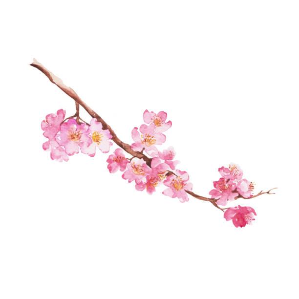 Branch of Cherry blossom vector art illustration