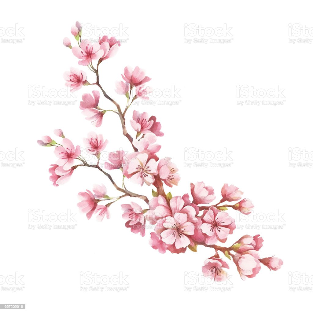 Uncategorized Draw Cherry Blossom branch of cherry blossoms hand draw watercolor illustration stock royalty free vector art