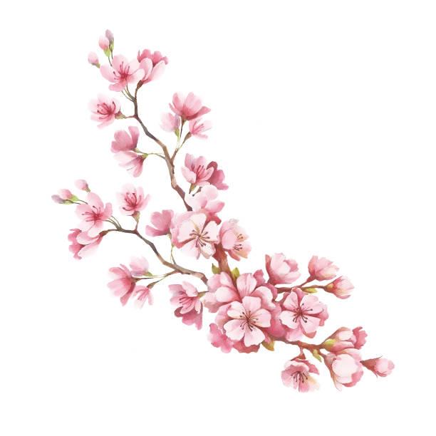 ilustrações de stock, clip art, desenhos animados e ícones de branch of cherry blossoms. hand draw watercolor illustration - cherry blossoms
