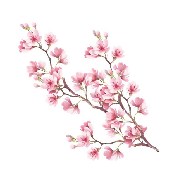gałąź kwiatów wiśni. ilustracja akwareli do rysowania ręcznego - gałąź część rośliny stock illustrations