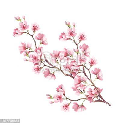 Branch Of Cherry Blossoms Hand Draw Watercolor