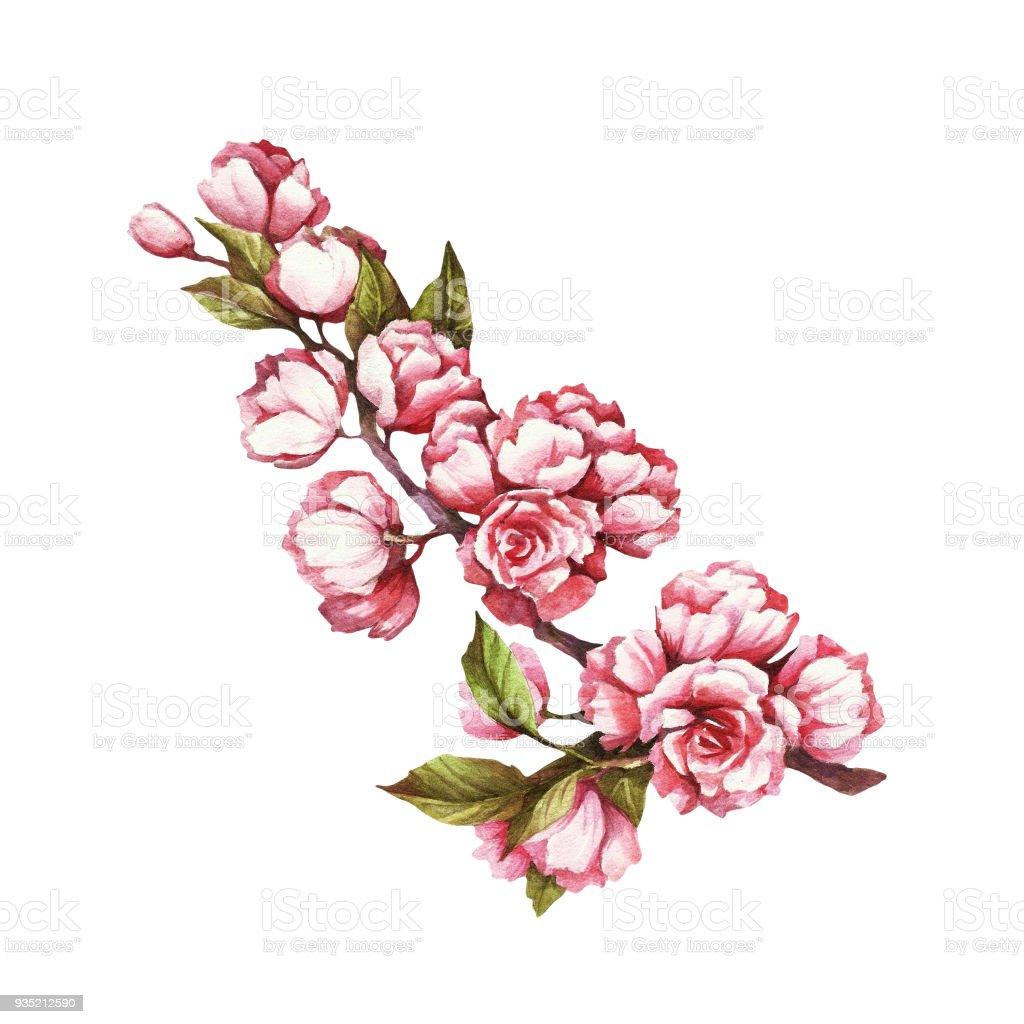 Branche De Fleurs De Cerisier Main Dessiner Illustration Aquarelle Vecteurs Libres De Droits Et Plus D Images Vectorielles De Aquarelle Istock
