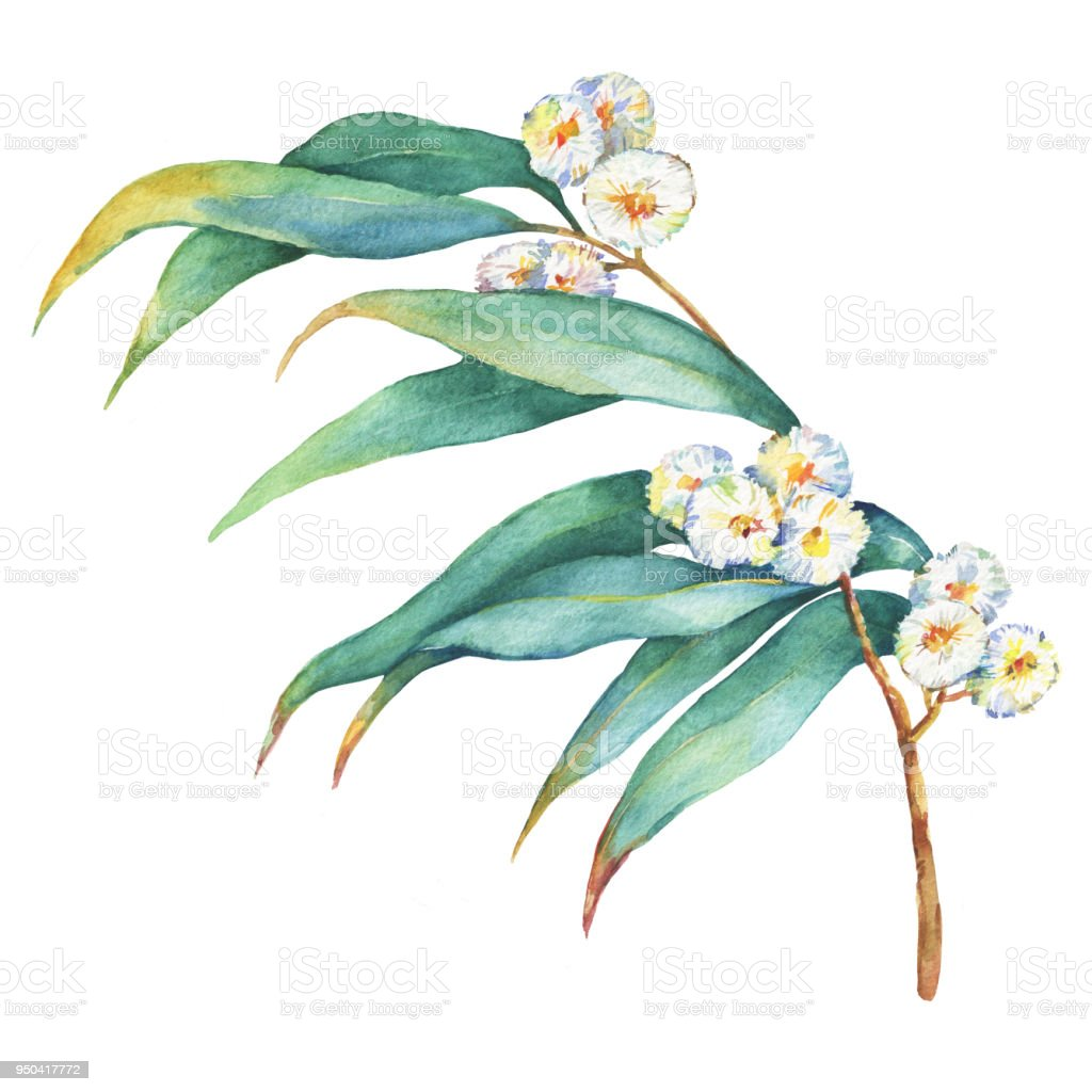 A branch of Eucalyptus melliodora flowers, plant also known as Yellow Box Gum. Watercolor hand drawn painting illustration, isolated on white background. vector art illustration