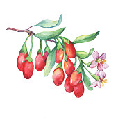 Branch of goji plant with red berries, flowers and leaves. Fresh goji fruits (Lycium barbarum, matrimony vine, wolfberry). Watercolor hand drawn painting illustration isolated on white background.