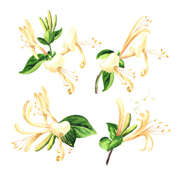 Branch of honeysuckle with flowers and leaves set. Watercolor hand drawn illustration isolated on white background Branch of honeysuckle with flowers and leaves set. Watercolor hand drawn illustration isolated on white background honeysuckle stock illustrations