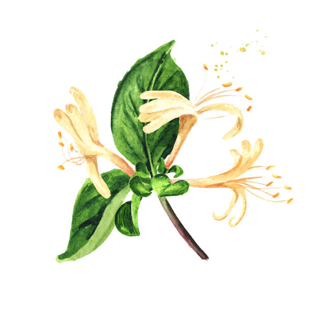Branch of honeysuckle with flowers and leaves. Watercolor hand drawn illustration isolated on white background Branch of honeysuckle with flowers and leaves. Watercolor hand drawn illustration isolated on white background honeysuckle stock illustrations