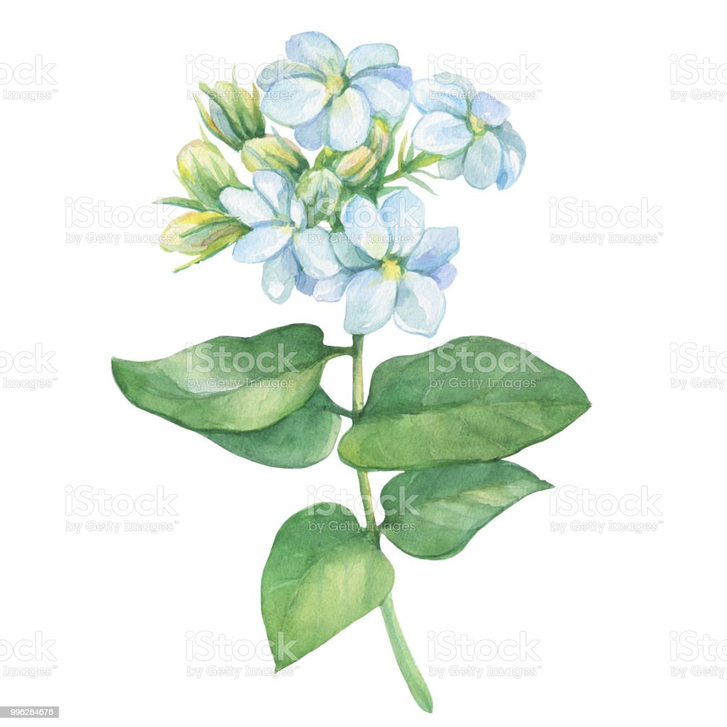 Branch Of Jasmine Plant With Flowers And Leaves Watercolor Hand
