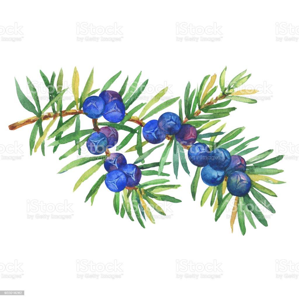 Zweig Der Pflanze Wacholder Mit Beeren Und Blätter Frischen ...