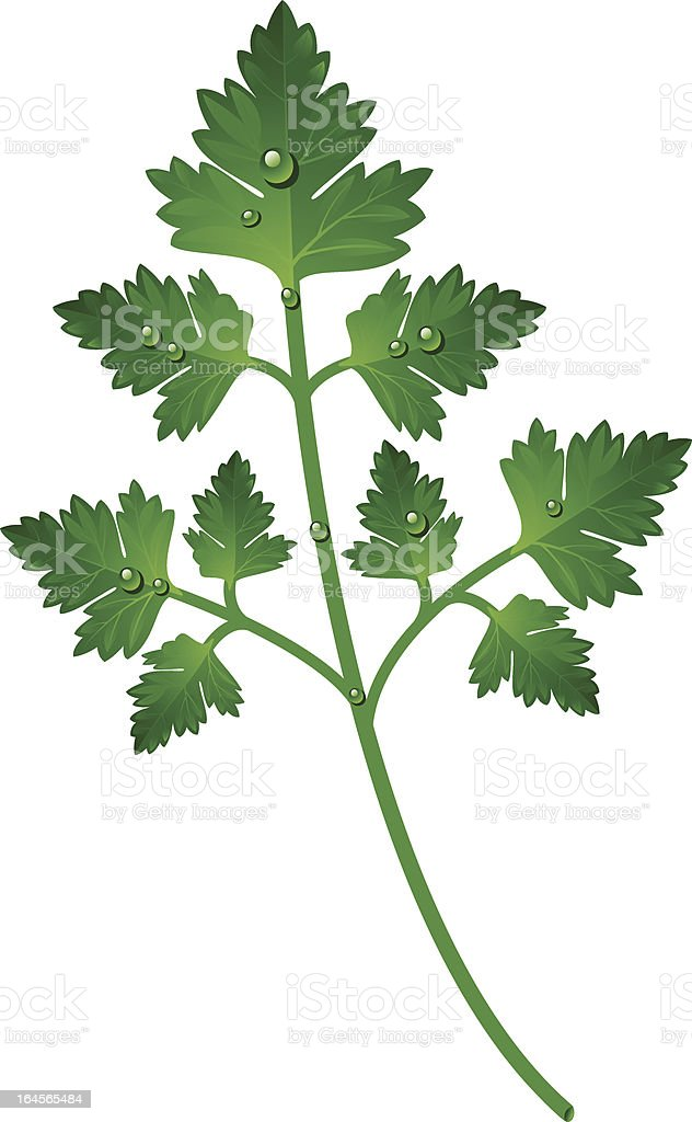 Branch of parsley royalty-free stock vector art