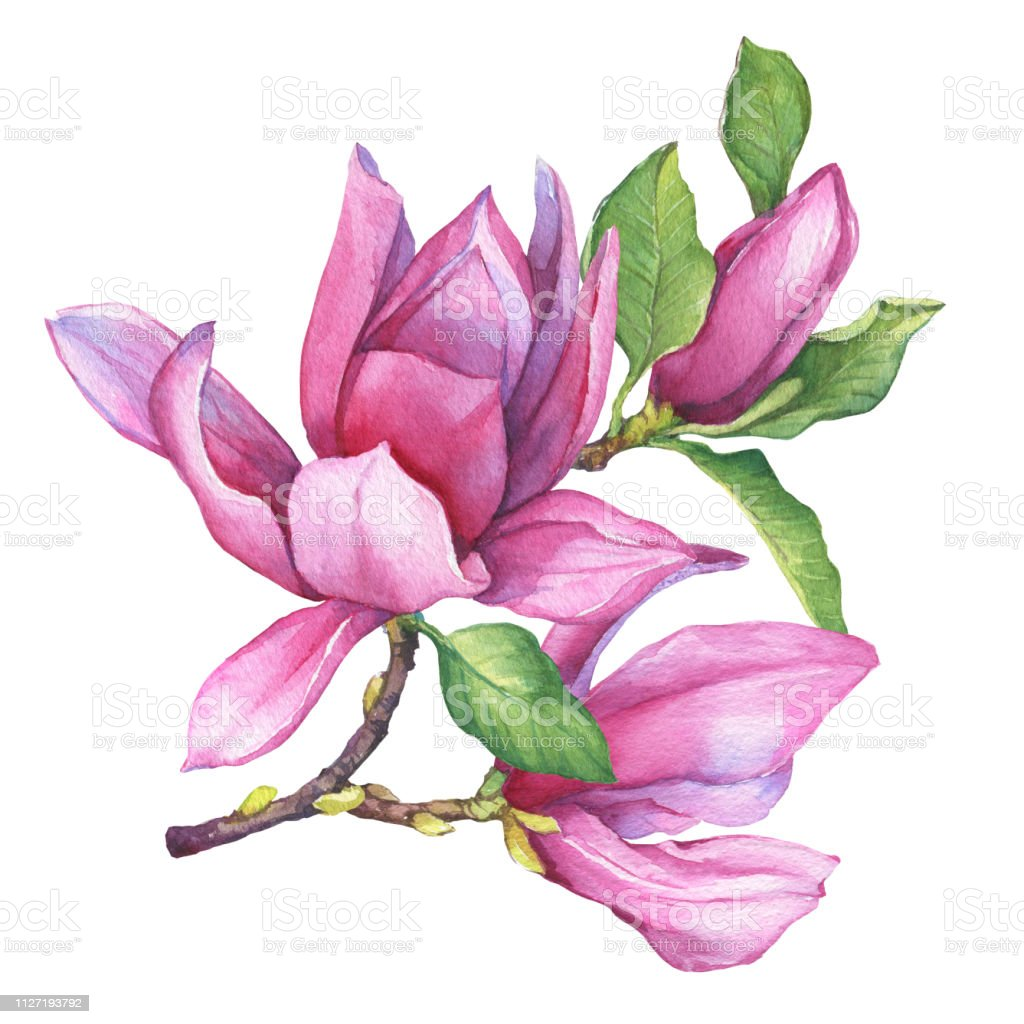 Branch Of Pink Magnolia Liliiflora With Flowers And Leaves Botanical