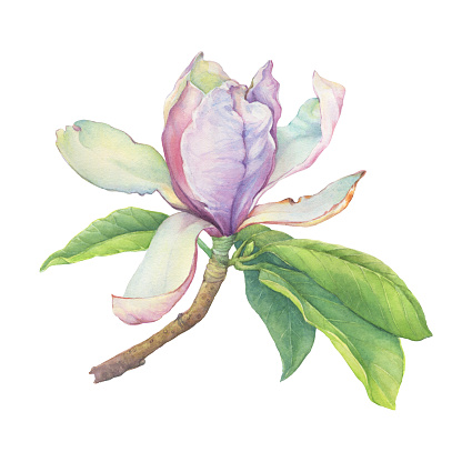 Branch of pink Magnolia soulangeana (also known as saucer magnolia) with flowers and leaves. Botanical watercolor hand drawn painting illustration, isolated on white background.