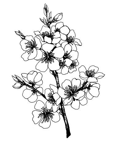 Branch Of Sakura With Flowers Appletree Flowers Japan ...