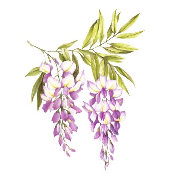 oddział wisterii. ilustracja akwareli do rysowania ręcznego - gałąź część rośliny stock illustrations