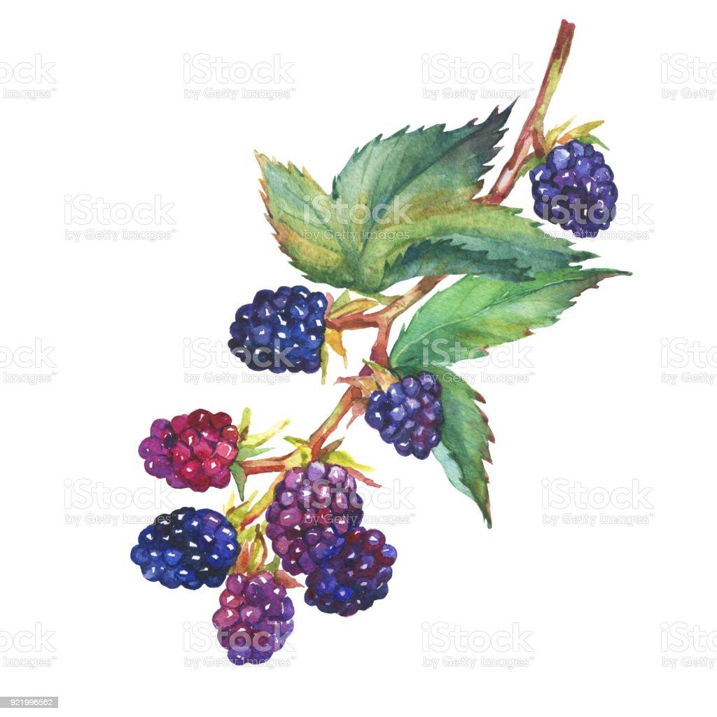Super Ein Zweig Mit Brombeere Frucht Realistische Botanische @TR_84