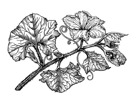 Branch with flower and leaves pumpkin. Black and white outline illustration hand drawn work isolated on white background.