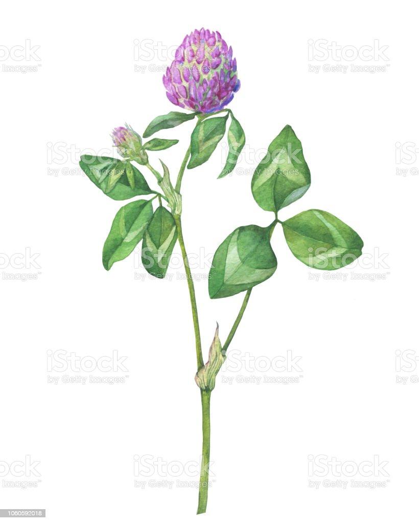 Branche De Fleurs De Trefle Rouge De Plante Sauvage Aquarelle