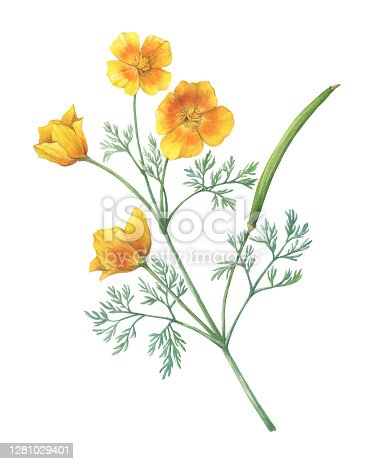 Branch with golden California poppy flower (Eschscholzia caespitosa, California sunlight, tufted and foothill poppy). Watercolor hand drawn painting illustration, isolated on white background.