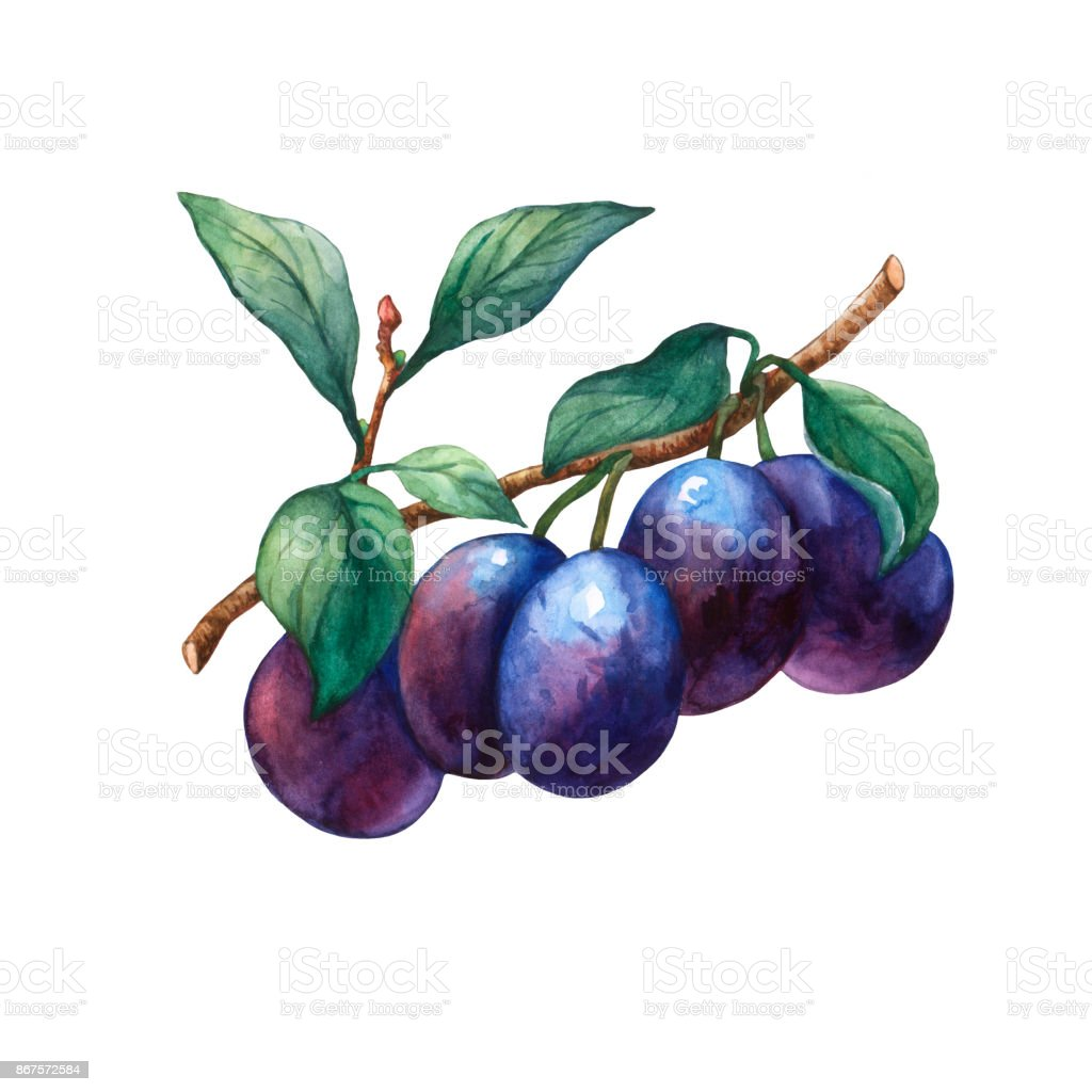 Branch with leaves and plums. Hand drawn watercolor painting on white background. vector art illustration