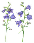 Branch with lilac garden flowers of Campanula persicifolia (also known as bluebell, harebell, lady's thimble). Watercolor hand drawn painting illustration isolated on a white background.