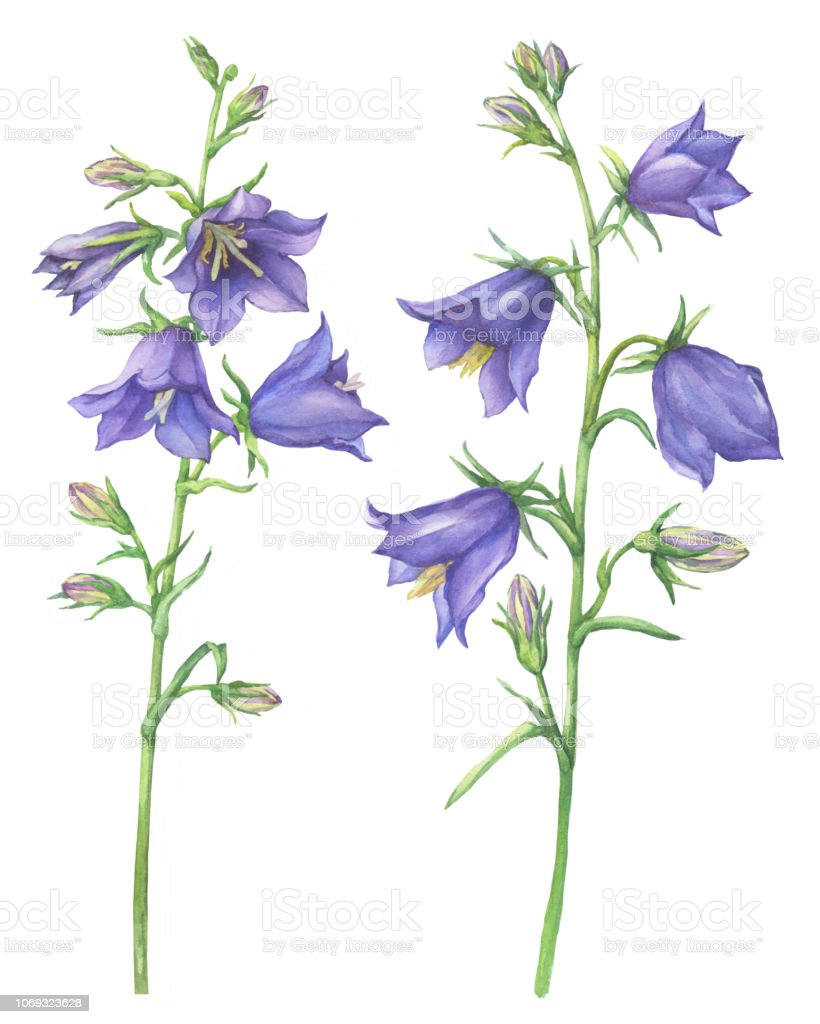 Branch with lilac garden flowers of Cam­panula persicifolia (also known as bluebell, harebell, lady's thimble). Watercolor hand drawn painting illustration isolated on a white background. vector art illustration