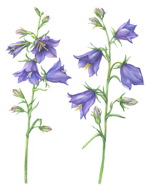 illustrazioni stock, clip art, cartoni animati e icone di tendenza di branch with lilac garden flowers of cam­panula persicifolia (also known as bluebell, harebell, lady's thimble). watercolor hand drawn painting illustration isolated on a white background. - scilla