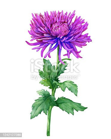 istock Branch with purple flowers of Chrysanthemum morifolium (also known as golden-daisy, mums or chrysanths). Watercolor hand drawn painting illustration isolated on a white background. 1242127285