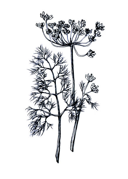 Branche and leaves of dill. Hand drawn black and white illustration on white background Branche and leaves of dill. Hand drawn black and white illustration on white background dill stock illustrations