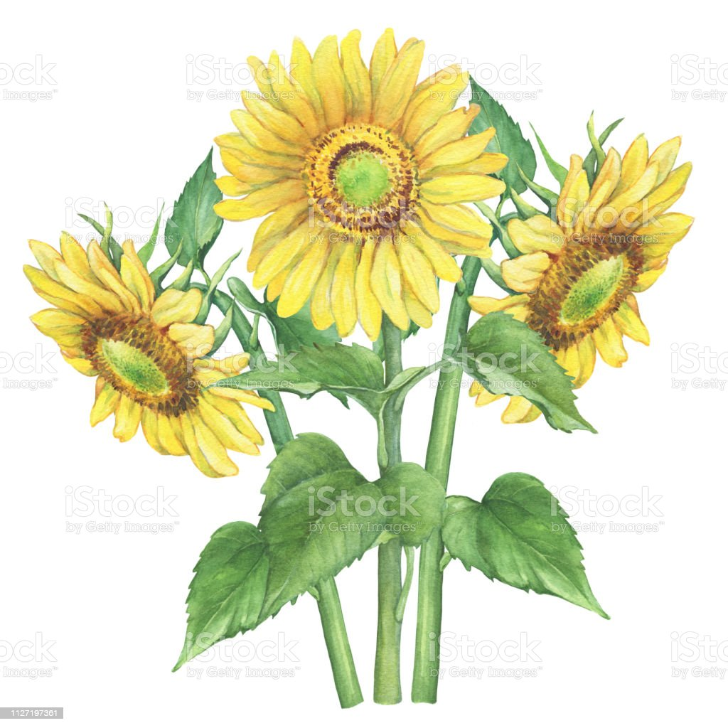 Branches With Yellow Flower Of Agriculture Plant Sunflower