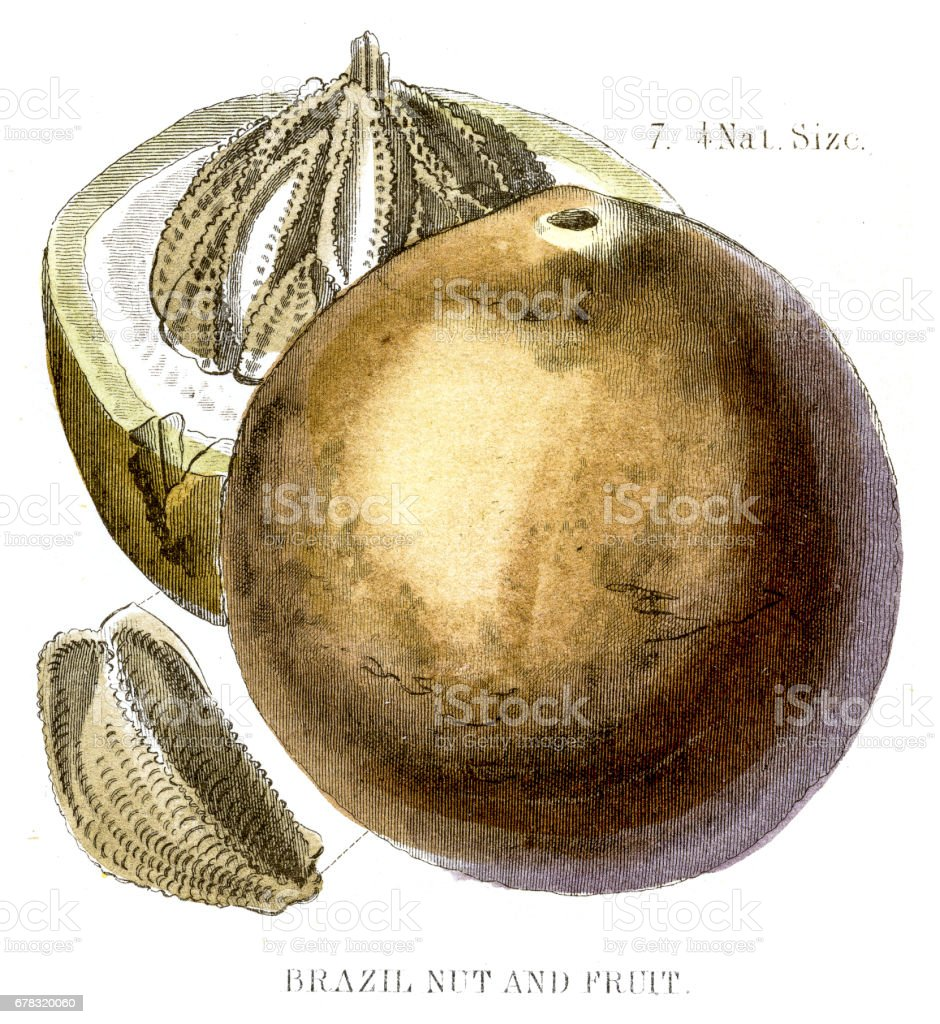 Brazil nut engraving 1857 vector art illustration