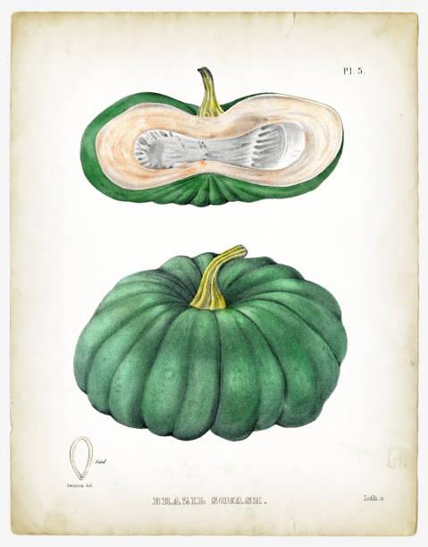Brazil Squash illustrations 1849 Agriculture of New York - Ebenezer Emmons M.D. Albany, Printed bt C. Van Benthuysen 1849 squash vegetable stock illustrations