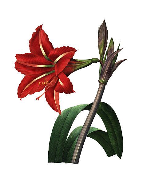 bildbanksillustrationer, clip art samt tecknat material och ikoner med brazilian amaryllis | redoute flower illustrations - amaryllis