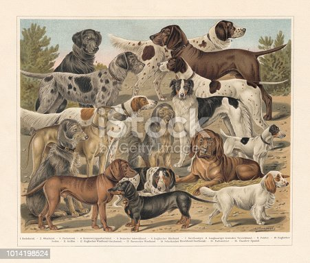 Breeds of hunting dogs: 1) Dachshund (Badger dog); 2) Otterhound; 3) Bernese hound (Fuchshund ?); 4) Flat Coated Retriever; 5) German bloodhound; 6) English bloodhound; 7) German shorthaired pointer; 8) German longhaired pointer; 9) English Pointer; 10) English setter; 11) Griffon; 12) English Greyhound; 13) Borzoi (Russian wolfhound); 14) Scottish deerhound; 15) Smooth Fox Terrier; 16) Clumber Spaniel. Chromolithograph after a drawing by Jean Bungartz (German painter, 1854 - 1934), published in 1897.