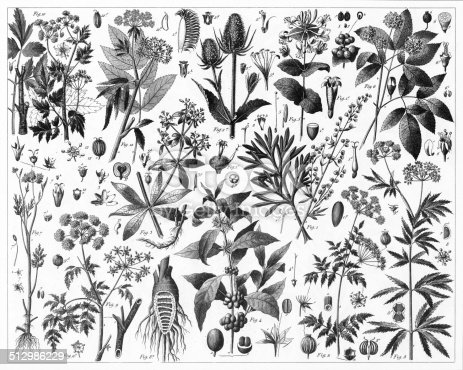 Engraved illustrations of Plants Brewed as Teas and Representatives of the Umbelliferae, Some Poisonous from Iconographic Encyclopedia of Science, Literature and Art, Published in 1851. Copyright has expired on this artwork. Digitally restored.